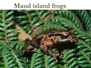 Maud island frogs