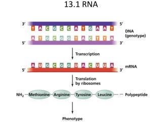 13.1 RNA