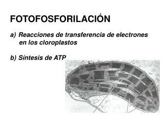 FOTOFOSFORILACI�N Reacciones de transferencia de electrones       en los cloroplastos