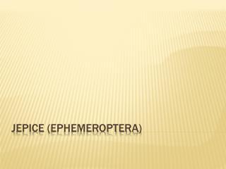 Jepice ( Ephemeroptera )