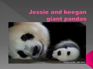 Jessie and  keegan  giant pandas