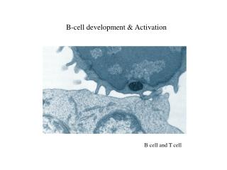 B-cell development & Activation