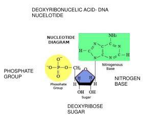 DEOXYRIBONUCELIC ACID- DNA NUCELOTIDE