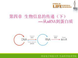 第四章 生物信息的传递(下) — 从 mRNA 到蛋白质