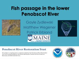 Fish passage in the lower Penobscot River