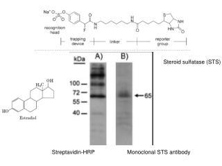 Streptavidin-HRP
