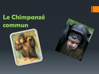 Le Chimpanzé commun