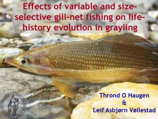 Effects of variable and size-selective gill-net fishing on life-history evolution in grayling