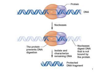 RNR polimerazės III promotoriai