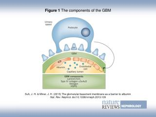 Figure 1  The components of the GBM