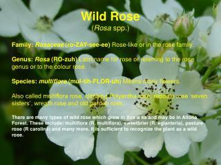 Wild Rose ( Rosa  spp.)