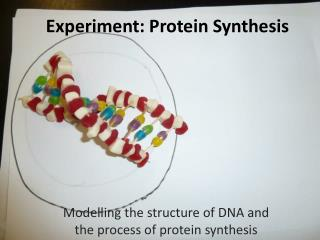 Experiment: Protein Synthesis