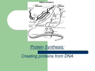 Protein Synthesis: Creating proteins from DNA