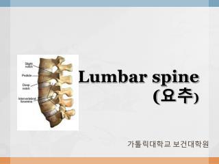 Lumbar spine ( 요추 )