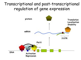 Transcriptional and post-transcriptional regulation of gene expression