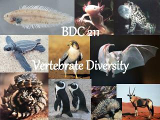 BDC 211 Vertebrate Diversity