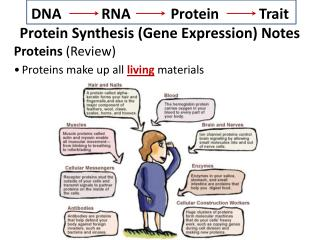 DNA           RNA           Protein           Trait Protein Synthesis (Gene Expression) Notes