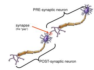 "synapse  (the ""gap"")"