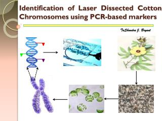 Identification of Laser Dissected Cotton Chromosomes using PCR-based markers