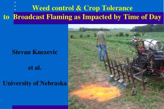 Weed control  Crop Tolerance   to  Broadcast Flaming as Impacted by Time of Day
