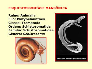 ESQUISTOSSOMÍASE MANSÔNICA Reino: Animalia Filo: Platyhelminthes Classe: Trematoda