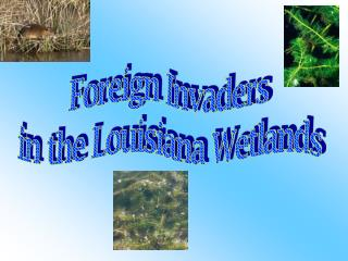Foreign Invaders  in the Louisiana Wetlands