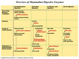 Overview of Mammalian Digestive Enzymes