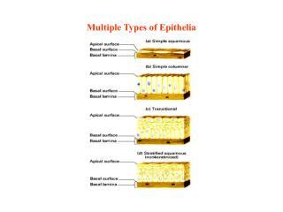 Multiple Types of Epithelia