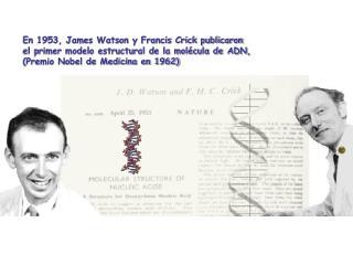 En 1953, James Watson y Francis Crick publicaron