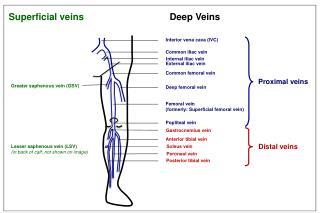 Inferior vena cava (IVC)