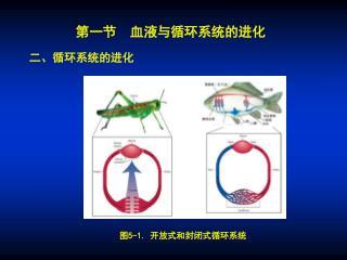 第一节  血液与循环系统的进化