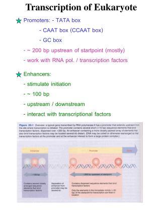 Transcription of Eukaryote