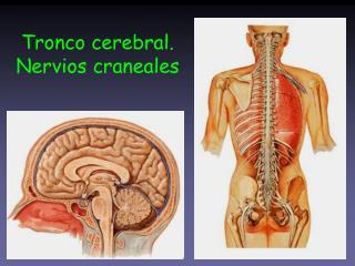 Tronco cerebral. Nervios craneales