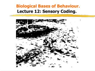 Biological Bases of Behaviour. Lecture 12: Sensory Coding.