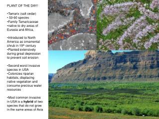 PLANT OF THE DAY! Tamarix (salt cedar)  50-60 species  Family Tamaricaceae