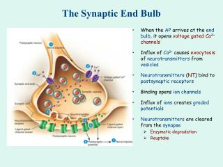 The Synaptic End Bulb