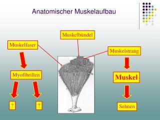 Anatomischer Muskelaufbau