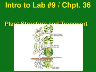 Intro to Lab #9 / Chpt. 36  Plant Structure and Transport  pg. 744 - 753