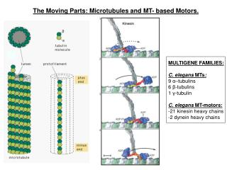The Moving Parts: Microtubules and MT- based Motors.