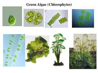 Green Algae (Chlorophytes)