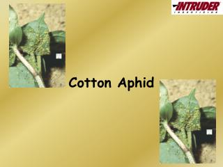 Cotton Aphid