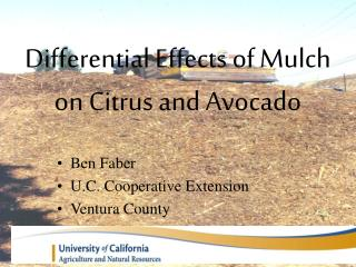 Differential Effects of Mulch on Citrus and Avocado
