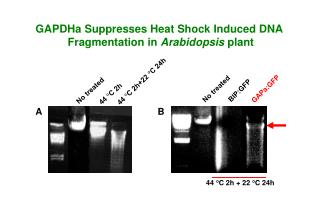 GAPDHa Suppresses Heat Shock Induced DNA  Fragmentation in  Arabidopsis  plant
