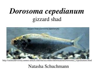 Dorosoma cepedianum gizzard shad