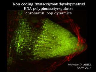 Non coding transcription by alternative  RNA polymerases regulates  chromatin loop dynamics