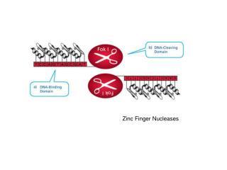 Zinc Finger Nucleases