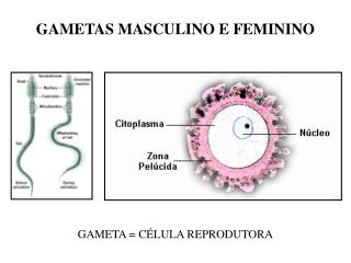 GAMETAS MASCULINO E FEMININO
