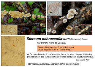 Stereum ochraceoflavum  (Schwein.) Sacc.