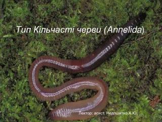 Тип Кільчасті черви ( Annelida )