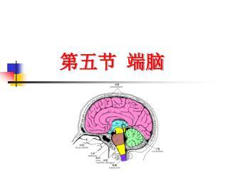 第五节 端脑